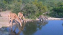 Посмотрите это видео на Rutube « Африка Последние настоящие африканцы держатся вместе - жирафы и зебры у водопоя »