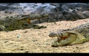 Crocodile Attack! - Hunters-Wildlife Predators, 03, 악어, 몰래가서 급습하라