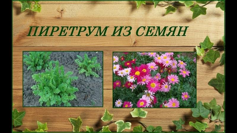 Пиретрум из семян - яркий многолетник любителям ромашек