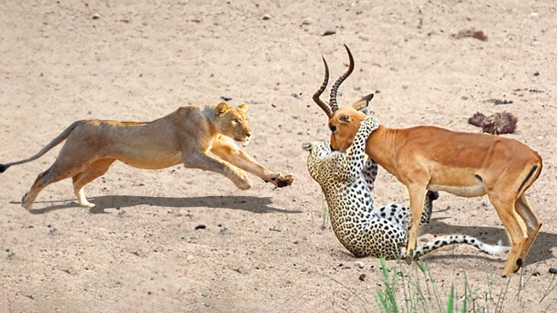 LION VS LEOPARD WHEN BIG CATS DISPUTE FOOD Lion Save Impala From Leopard