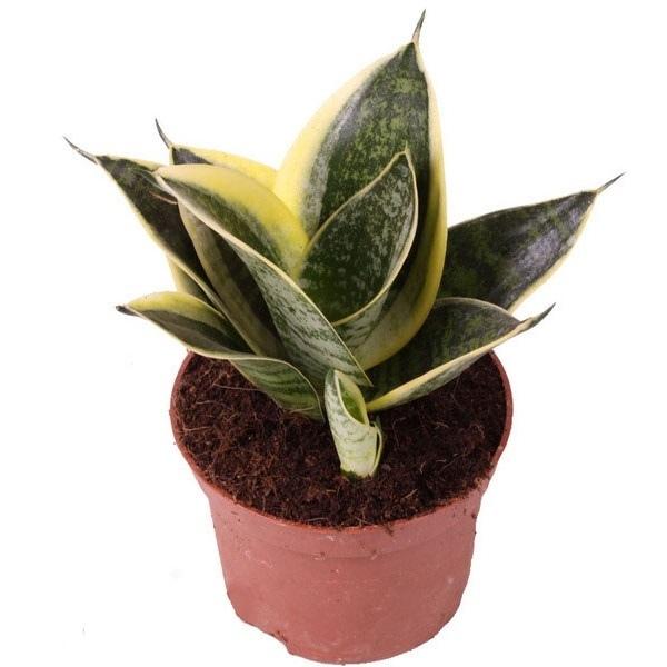 сансевиерия голден ханни фото описание ее цветки быстро
