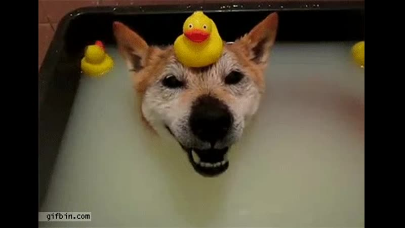Dog is happy with rubber duck on its head