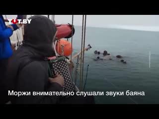 Моржи в Арктике сплылись на звуки советского вальса