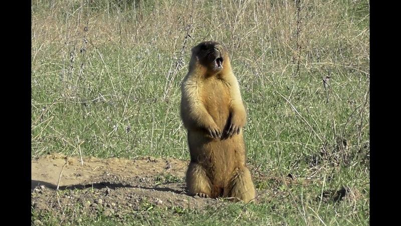 Сурок байбак Как кричит сурок Marmota bobak