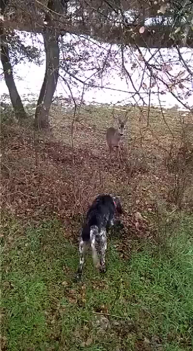 Лучшая универсальная собака для охоты.