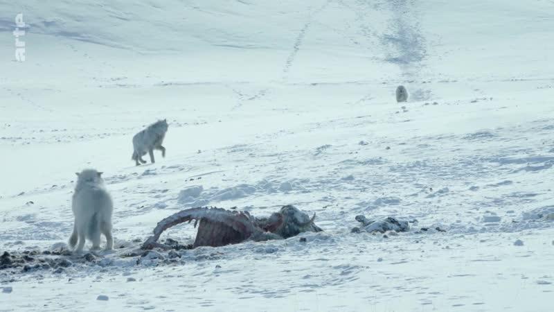 Le loup arctique1