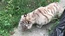 Белая тигрица Парк львов Тайган White tigress