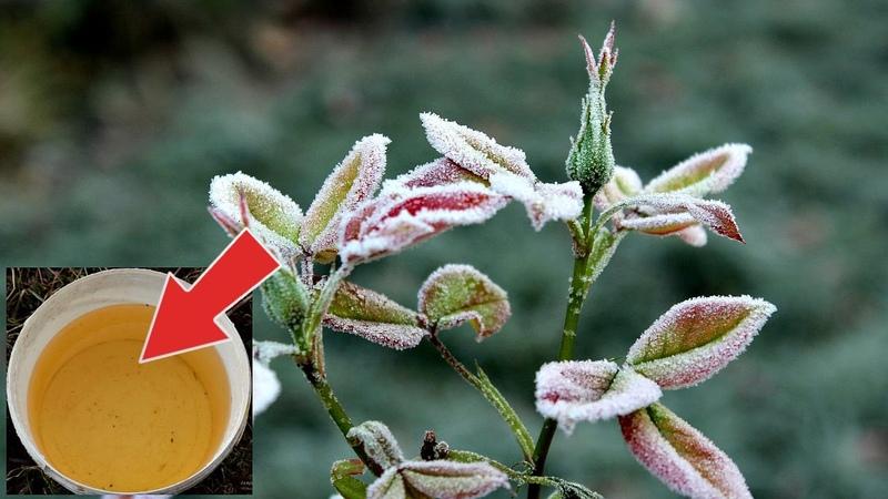Средство защитит от возвратных заморозков любую садовую культуру Как защитить сад от мороза