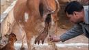 We Drink Cow Urine