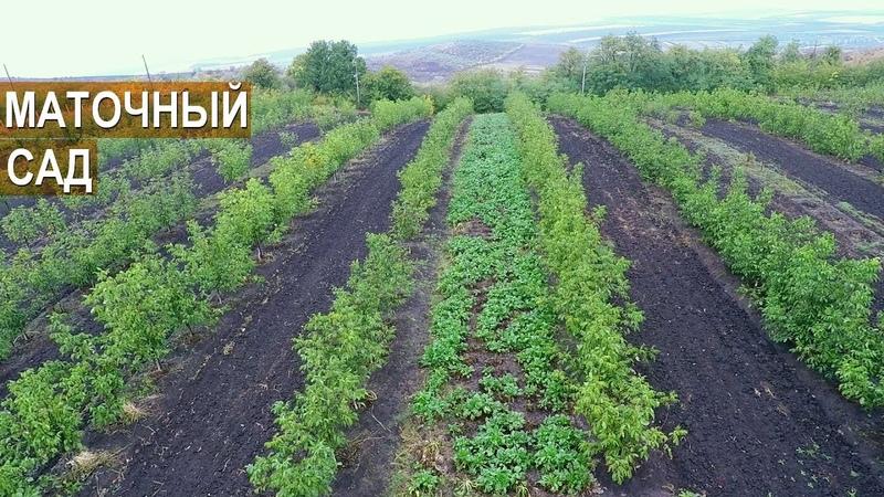 МАТОЧНО ЧЕРЕНКОВЫЙ САД Питомник грецкого ореха Господарул Республика Молдова