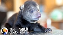 Tiniest Rescued Black Bear Cub Grows Up To Be CUTE The Dodo Wild Hearts