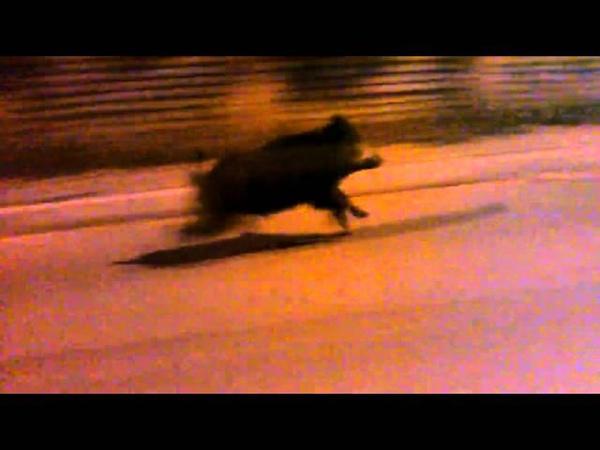 Дикий кабан бежит со скростью 70 км/ч по улице Петербурга.