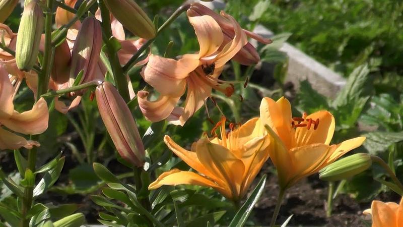 Наши лилии начало цветения Несколько слов о выращивании…