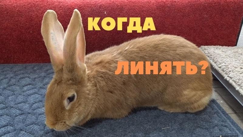 Период линьки у кроликов
