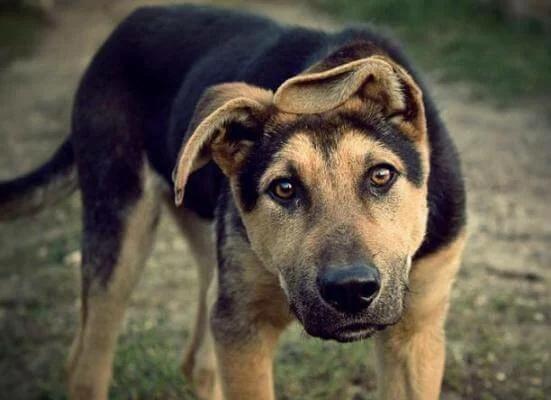 ДВОРТЕРЬЕР Собака двортерьер относится к беспородным животным. У собаки нет родословной и титулованных родителей, поэтому порода называется дворовая. Собаки породы двортерьер характеризуются