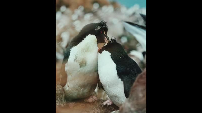 Пингвины Animal Planet