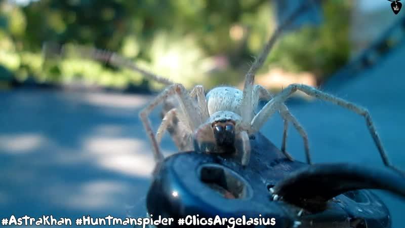 Olios sericeus Spider Убери Камеру