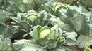 Массовая заготовка картофеля и овощей в Витебской области 18 09 2019