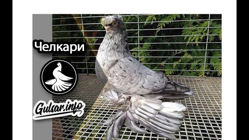 ДВУХЧУБЫЕ ЧЕЛКАРИ PIGEONS TAUBE Gulsarinfo©