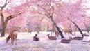 【奈良公園の鹿と桜】Deer and cherry blossoms in Nara Park