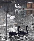 В Липецком зоопарке на пруд выпустили черных лебедей