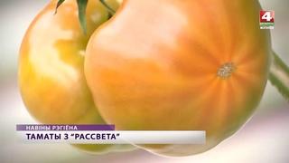Белорусские помидоры в хозяйстве Рассвет Кировский район [БЕЛАРУСЬ 4| Могилев]