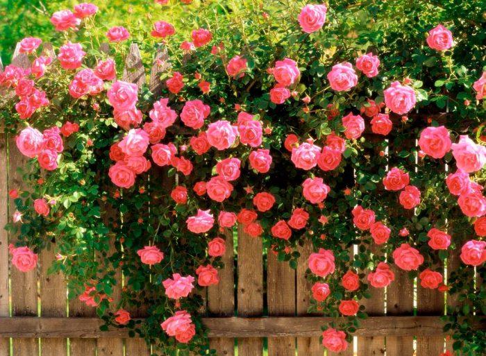 Декоративные лианы-многолетники для дачи и сада., изображение №4