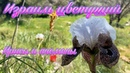 Израиль цветущий. Ирисы и анемоны. Blooming Israel. Irises and anemones