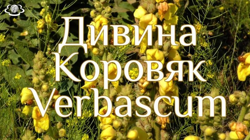 Дивина Коровяк Verbascum