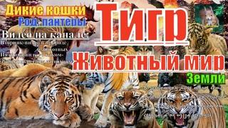 Животный мир земли. Дикие кошки. Род пантеры. Тигр (Tiger)