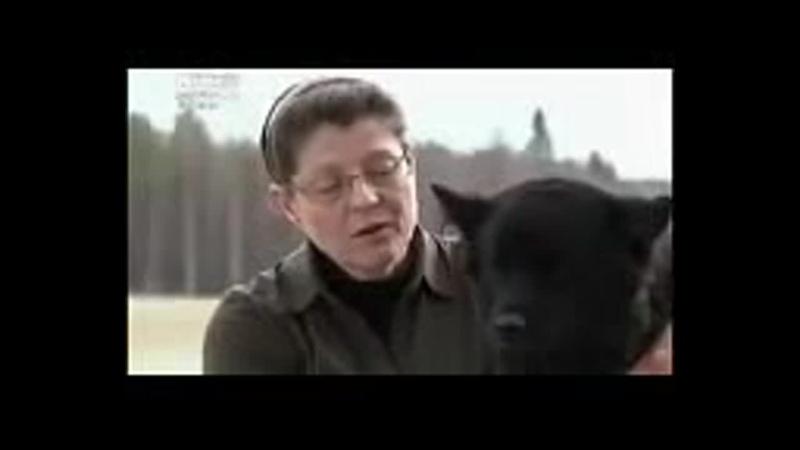 Шведская лопарская лайка все породы собак 101 dogs Введение в собаковедение