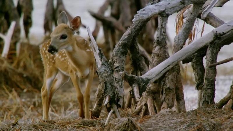 BBC - Natural World 2019 Florida Americas Animal Paradise (720p) - ArabHD.Net