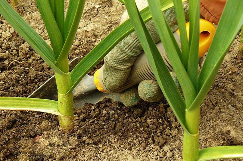 Советы бывалых огородников о том, что делать, чтобы Ваш чеснок вырос крупным, изображение №5