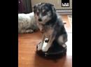 собакен не боится пылесоса