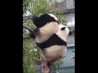 на одного панду станет больше