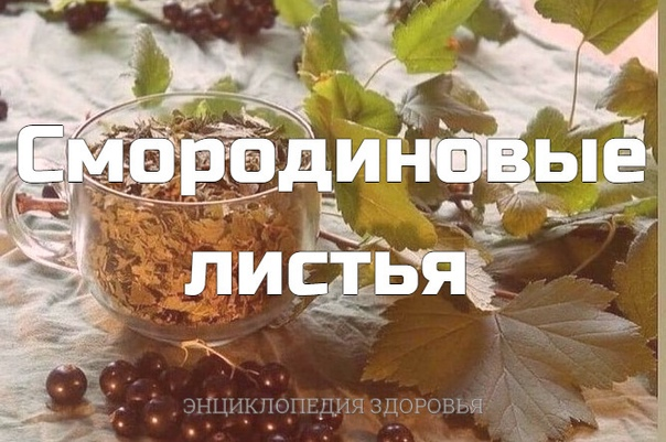 Каждый год заготавливаю смородиновые листья  это отличное лекарство