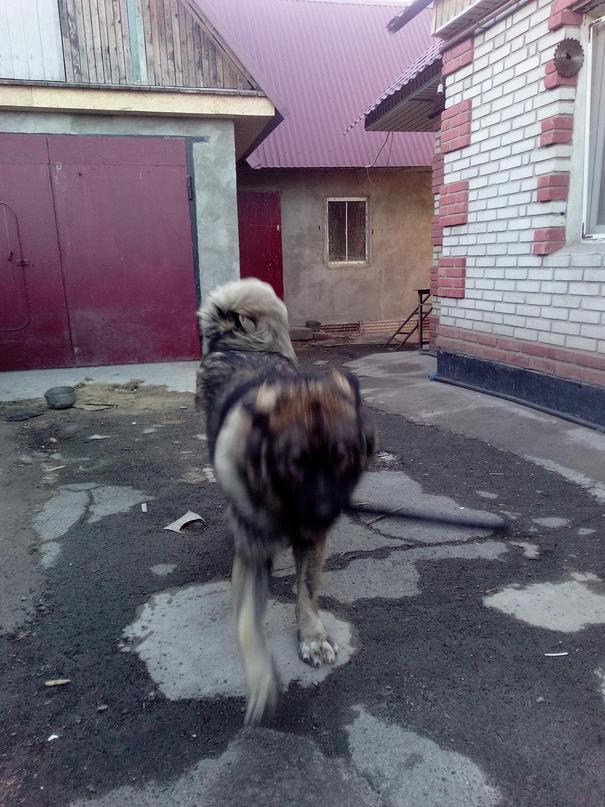 Кобель 1,5года,кавказская овчарка   Объявления Орска и Новотроицка №18440