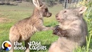 Wombat And Kangaroo Are Obsessed With Each Other | The Dodo Odd Couples