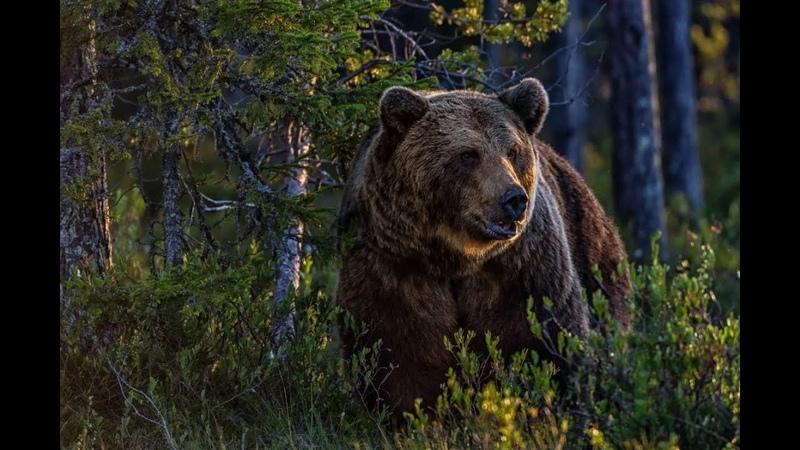 Vloq Медведи