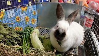 ВЕС калифорнийских КРОЛЬЧАТ в 7 дней - 16/04/2021 / Крольчатам 1 неделя - вес от 95 до 112 грамм