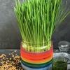 Витграсс - сок из ростков пшеницы