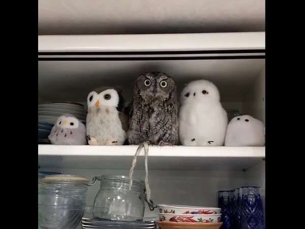 Owl Perches Between his toy owl Friends for a Nap 1005420