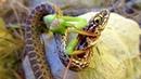 БОГОМОЛ ПРОТИВ змеи паука шершня мыши и даже ИГУАНЫ Это версус