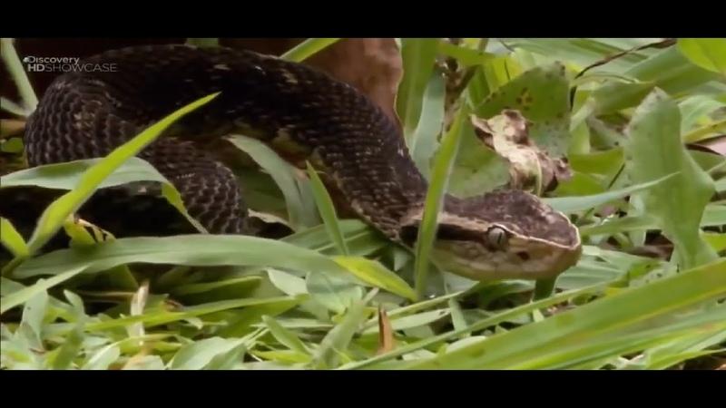 Дикая Природа Смертельно опасные животные Бразилии Discovery HD