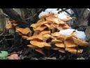 Зимние грибы в январе 2020. Фламмулина от сбора до приготовления